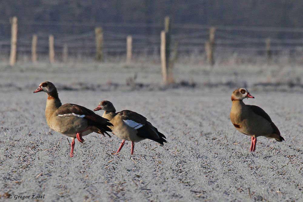 Nilgänse versammeln sich auf dem vereisten Feld an der Kiebitzwiese.....am 31.12.16 Foto: Gregor Zosel