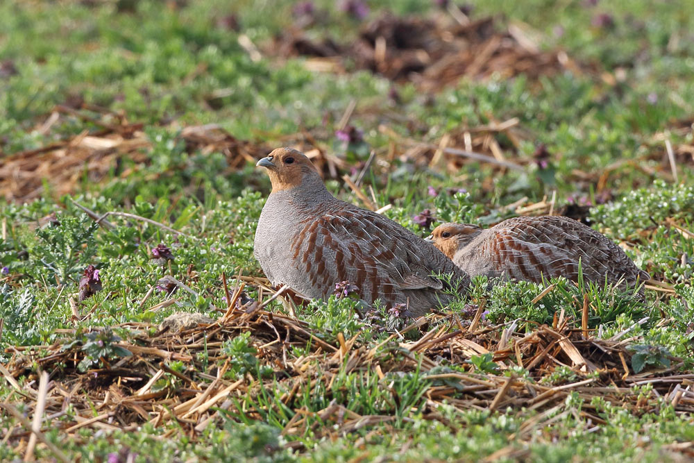Zwischen all den Ackerwildkräutern auf diesem noch nicht bestellten Feld fühlen sich die Rebhühner wohl, 06.04.2016 Foto: Bernhard Glüer