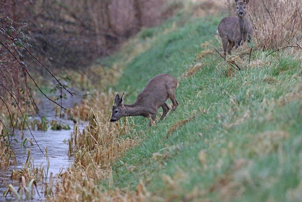 ... nach dem Riesensatz der Schwester auf die andere Seite geht der junge Bock etwas zaghafter vor..., 30.01.2016 Foto: Bernhard Glüer