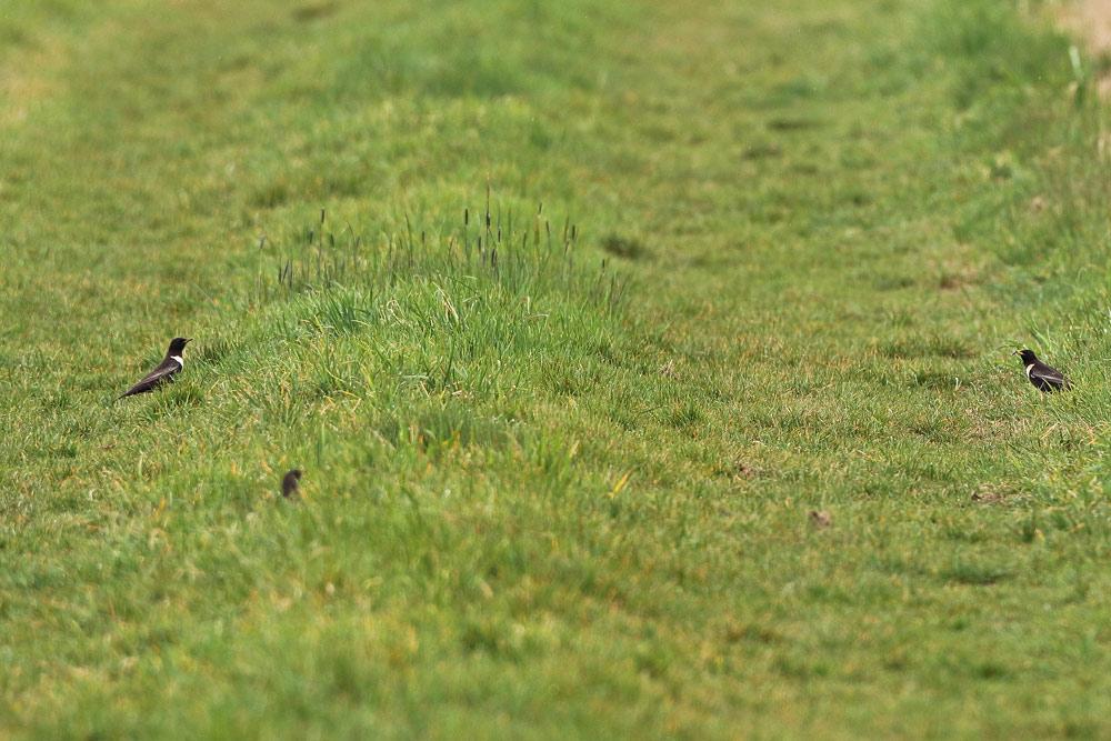 Ringdrosseln auf einem Grasweg bei Unna-Dreihausen, 05.04.2016 Foto: Bernhard Glüer