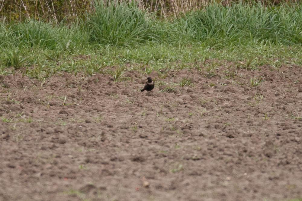 Hier am Feldrand auch diese weibliche Ringdrossel, am 27.04.2016 Foto: Marvin Lebeus