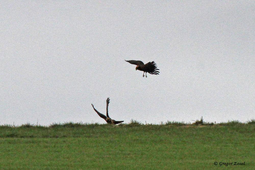Auf die große Entfernung war nicht zu erkennen, um welche Beute sich diese beiden Rohrweihen stritten.....am 20.08.16 Foto: Gregor Zosel