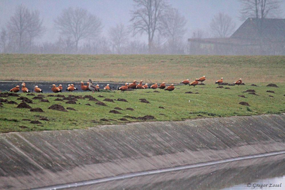Ein Teil der Rostgänse im Hammer Wasserwerk......am 17.12.16 Foto: Gregor Zosel