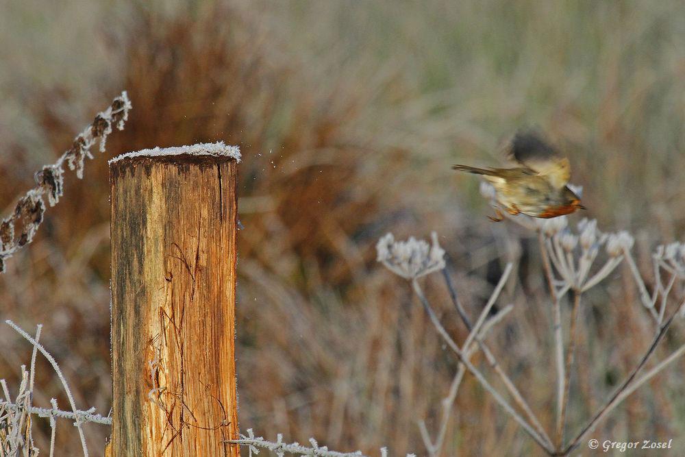 Nun aber wieder schnell ins sichere Unterholz.....am 03.12.16 Foto: Gregor Zosel