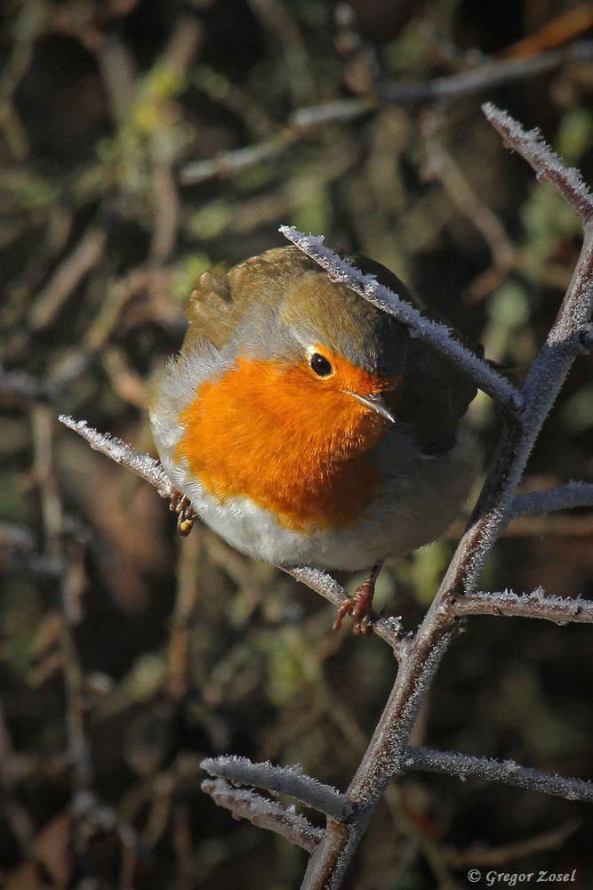 Der Gesang von Kohlmeise und Rotkehlchen war heute, trotz eisiger Temperaturen, vorherrschend...am 04.12.16 Foto: Gregor Zosel
