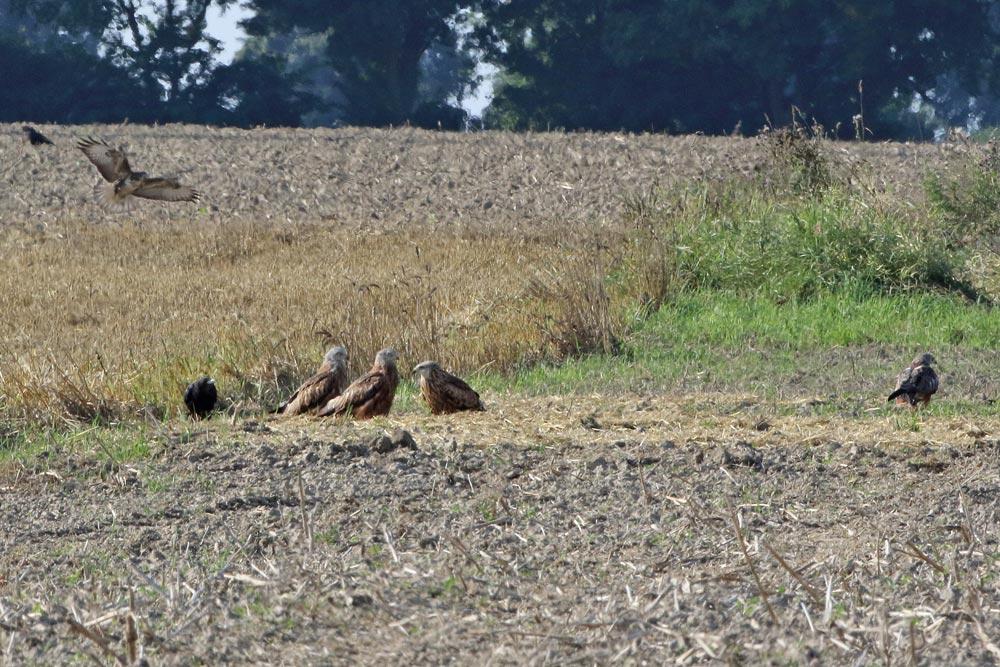 Was die Rotmilane hier zusammengeführt hat, ließ sich nicht ergründen - sie saßen, bzw. einer hatte sogar zunächst gelegen, (auf neu-hochdeutsch:) `ziemlich chillig´ herum, 19.08.2016 Foto: Bernhard Glüer