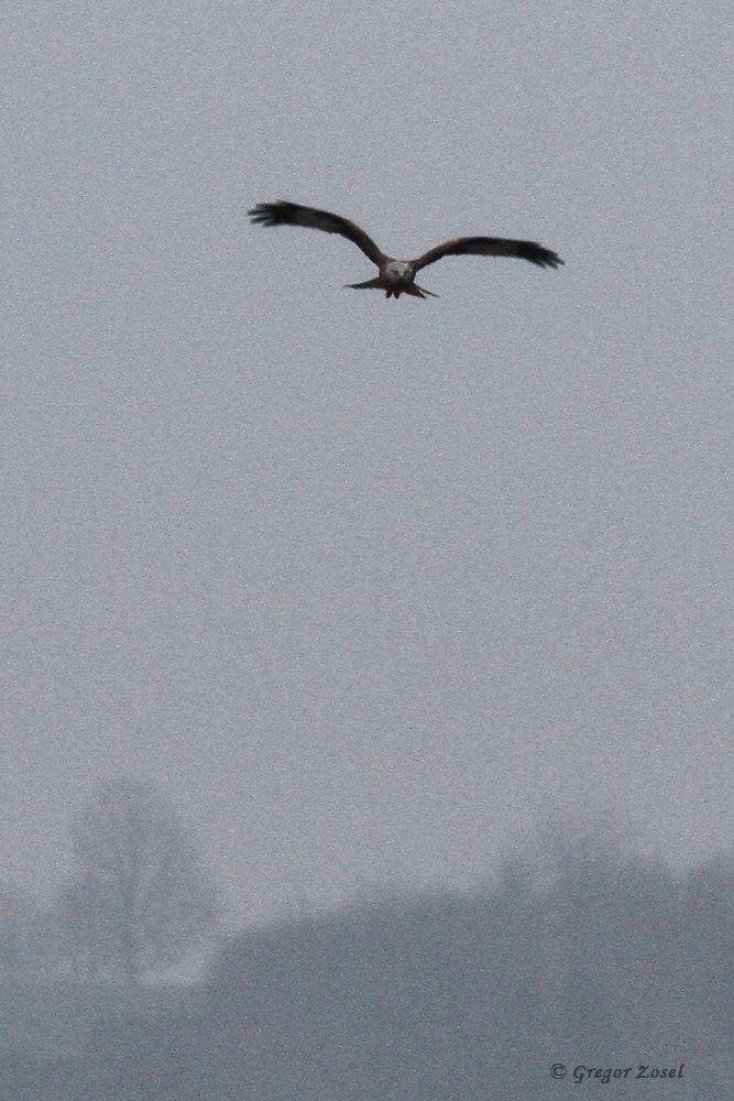 Rotmilan im Osten Fröndenbergs.....am 23.02.16 Foto: Gregor Zosel