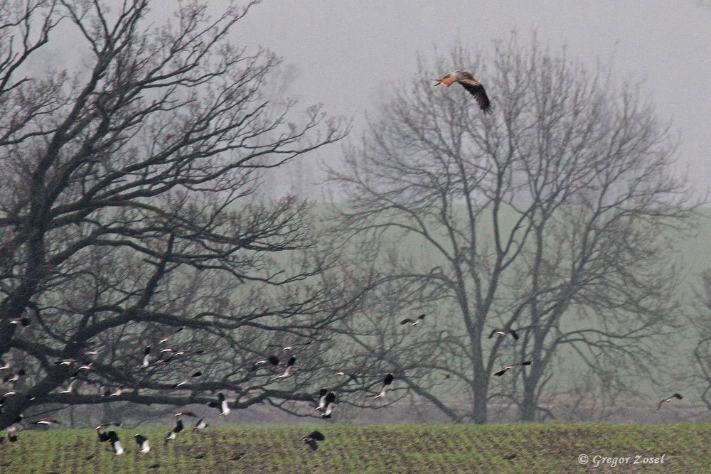 Rotmilan scheucht den Kiebitzschwarm auf.....am 23.02.16 Foto: Gregor Zosel