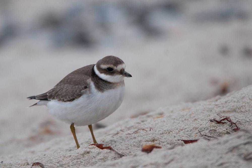 Mitunter auch Sandregenpfeifer, sowie dieser diesjährige Vogel, am 14.10.2016 Foto: Marvin Lebeus