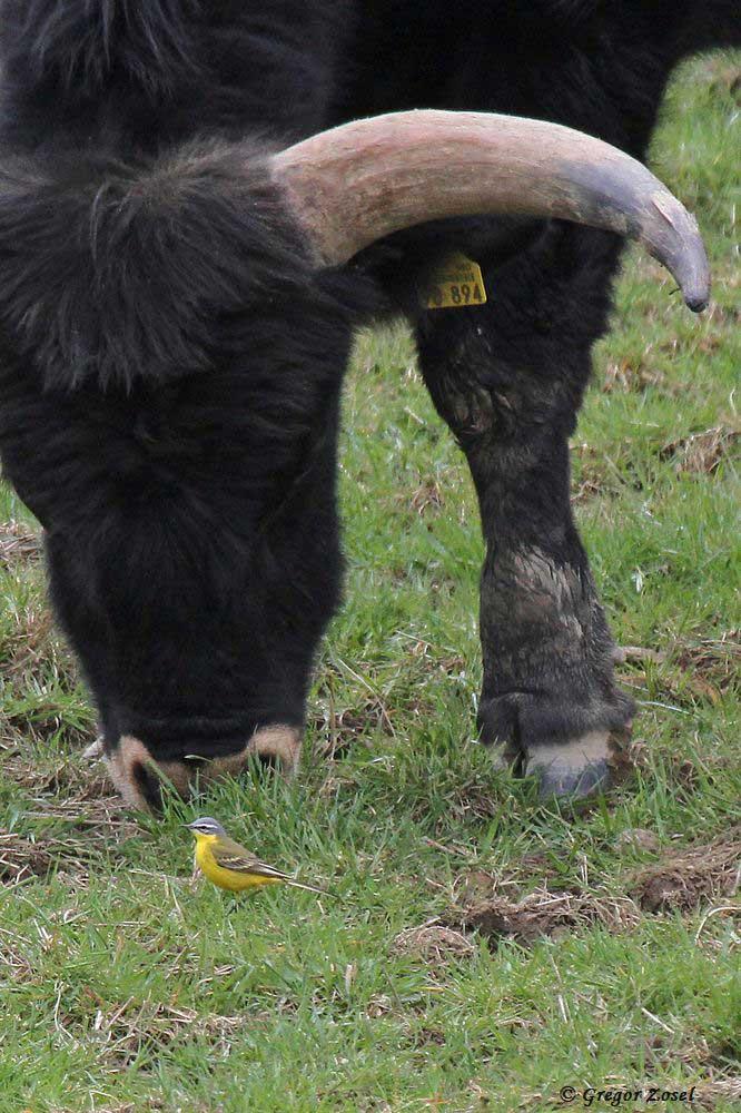 Wie David und Goliath wirken das Heckrind und die dagegen winzige Schafstelze...am 08.04.16 Foto: Gregor Zosel