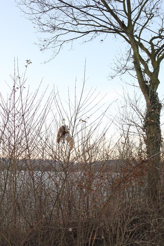 ... der nicht mehr ganz frische Kadaver ist merkwürdig positioniert - möglicherweise wurde er noch von einer Krähe oder einem Bussard in die Höhe gehievt, 06.12.2016 Foto: Bernhard Glüer