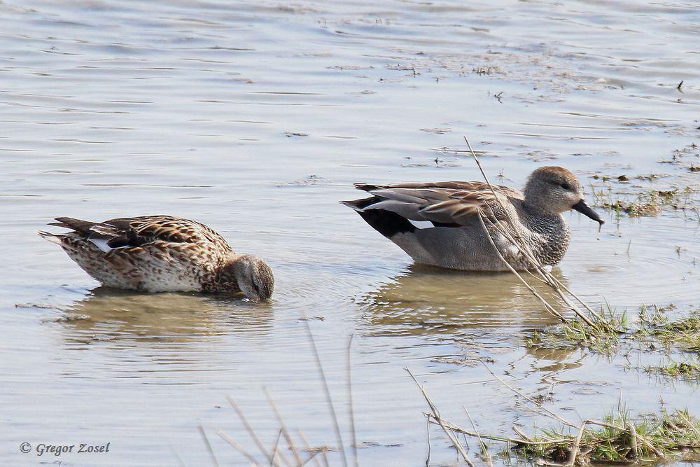 Schnatterentenpaar im schlammigen Flachwasser....am 02.04.16 Foto: Gregor Zosel