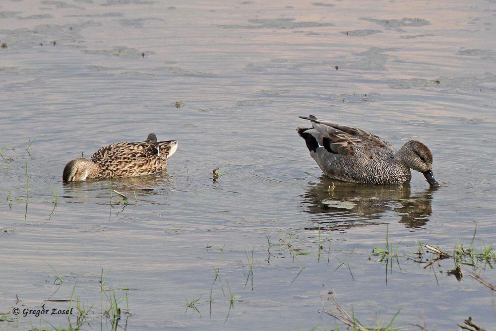 Die Schnatterenten schwimmen nun schon seit Tagen nur noch paarweise über die Wasserflächen. Damit ist die Paarbildung zumindest abgeschlossen. Bleibt abzuwarten, ob zum ersten mal ein Schnatterentenpaar zur Brut auf der Kiebitzwiese antritt...am 14.04.16 Foto: Gregor Zosel