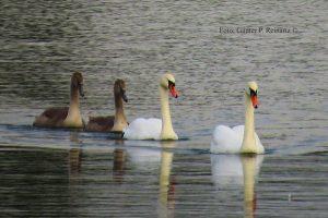 Schwäne auf dem Horstmarer See