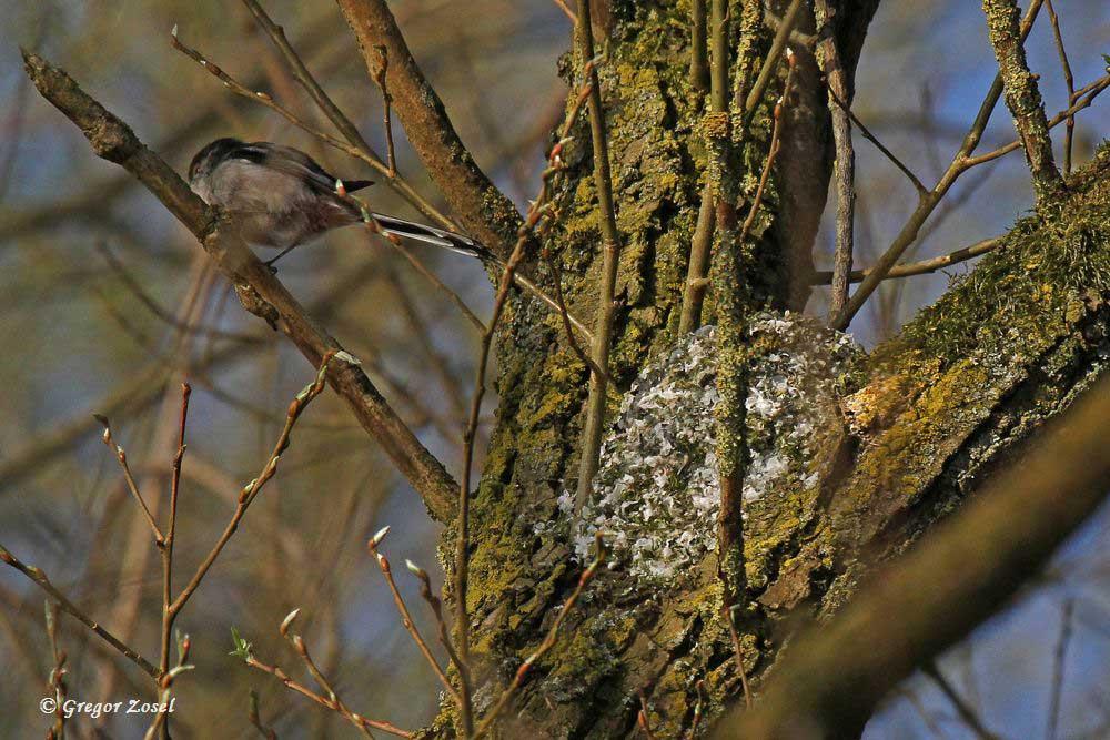 In einer Astgabel haben die Schwanzmeisen ihr Nest gebaut....am 08.04.16 Foto: Gregor Zosel