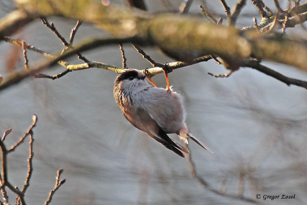 Auf dem Foto kaum zu erkennen. Diese Schwanzmeise hat ihre langen Schwanzfedern verloren. Vielleicht ist sie dem Sperber noch so grade entkommen....am 18.01.16 Foto: Gregor Zosel