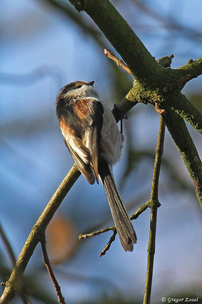 Meist in den Baumkronen, die in der Morgensonne zuerst auftauen, suchen sie nach Kleinstinsekten und Spinnen.....am 31.12.16 Foto: Gregor Zosel