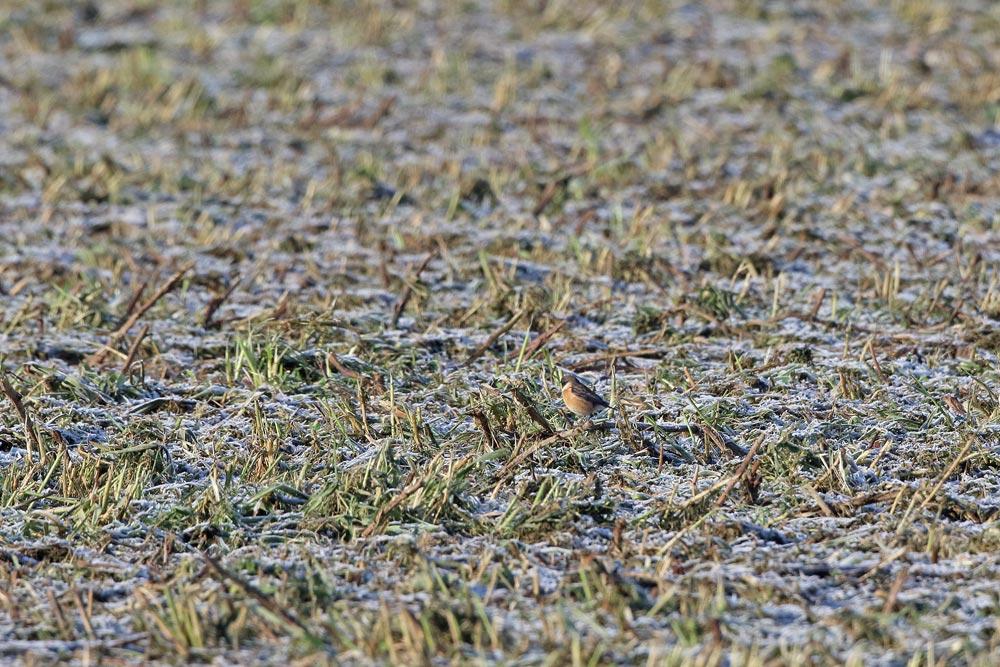 ... das Schwarzkehlchen (m) sucht auf der jetzt kahlen Fläche noch Fressbares, 22.01.2016 Foto: Bernhard Glüer