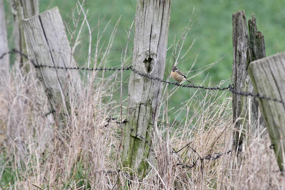 Auch für die Schwarzkehlchen (hier das Weibchen) erweist sich der uralte Weidezaun beinahe als idealtypisches Lebensraumelement, 24.03.2016 Foto: Bernhard Glüer