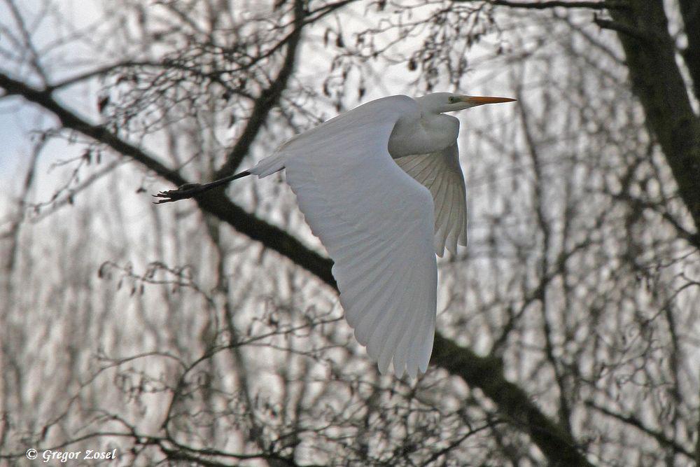 Silberreiher fliegt vom Ruhrufer ab, um ein Stückchen weiter in der ungestörten Sperrzone zu landen....am 25.01.16 Foto: Gregor Zosel