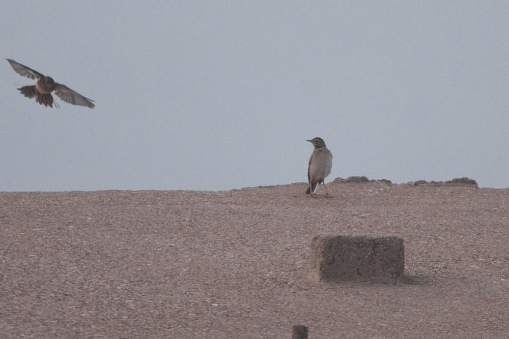 Dieser Pieper (rechts im Bild) wirkt sofort deutlich langbeiniger und größer: Spornpieper; Ursprung: Sibirien, am 16.10.2016 Foto: Marvin Lebeus