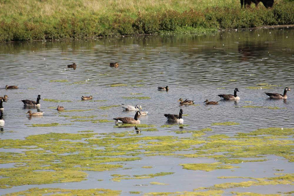 Streifengans unter dem üblichen Wassergeflügel....am 12.09.16 Foto: Andreas Wilke