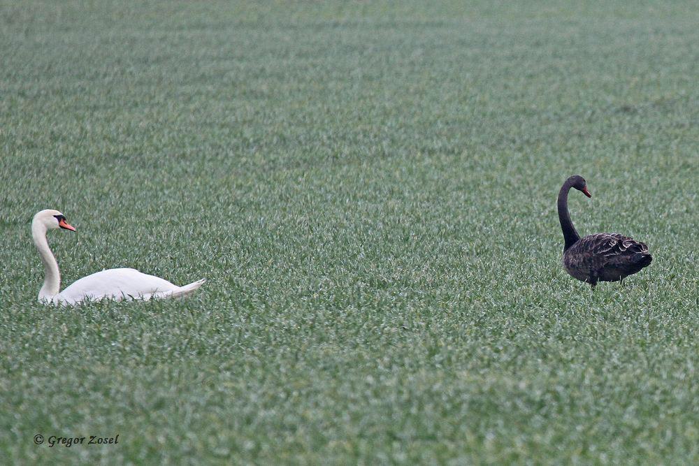 Schwan mit Migrationshintergrund! Trauerschwan im Warmer Löhen.....am 23.02.16 Foto: Gregor Zosel