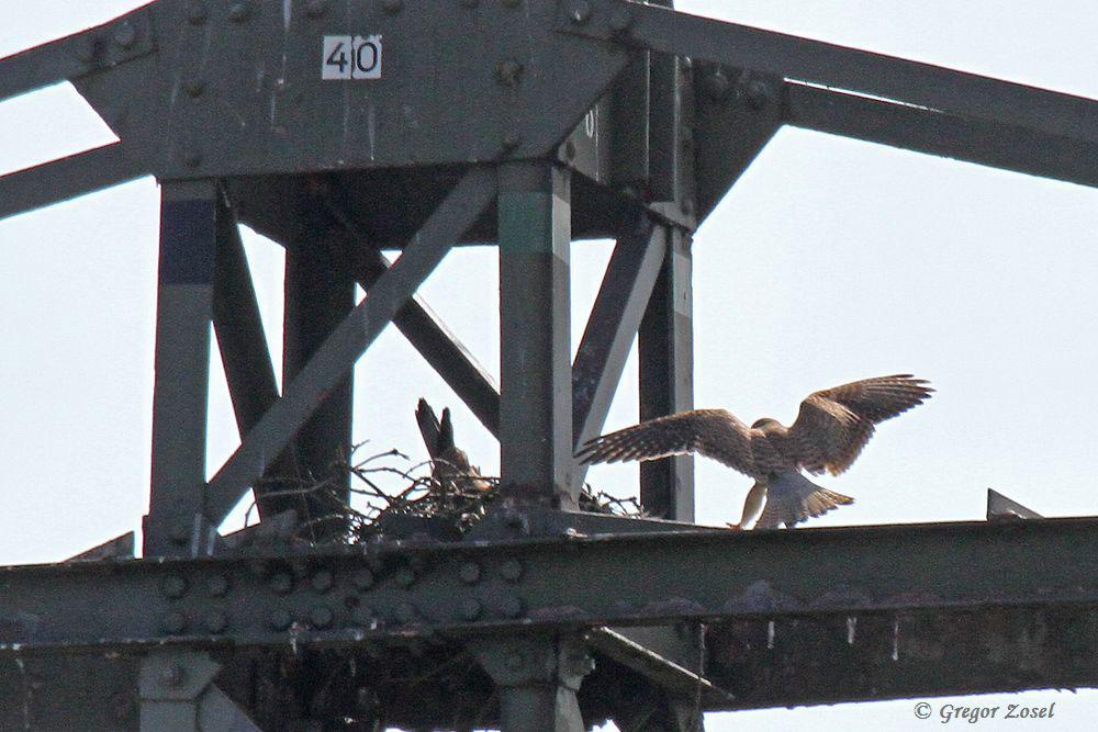Heute hieß es bei den Turmfalken Großreinemachen. Aus dem alten Nest auf dem Hochspannungsmast wurde immer wieder kleine Zweige hinuntergeworfen....am 02.04.16 Foto: Gregor Zosel