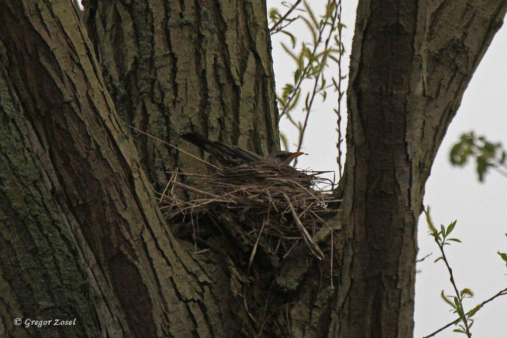 Das Nest entdeckte ich hoch oben in einem Baum in einer Astgabel.....am 17.04.16 Foto: Gregor Zosel