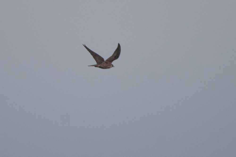 Wanderfalke fliegt nach kurzem Manöver wieder ab, am 17.01.2015 Foto: Marvin Lebeus