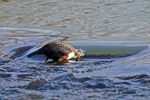 Dann nur den Kopf ins Wasser stecken... 28.01.2016 (Foto: G.Reinartz)