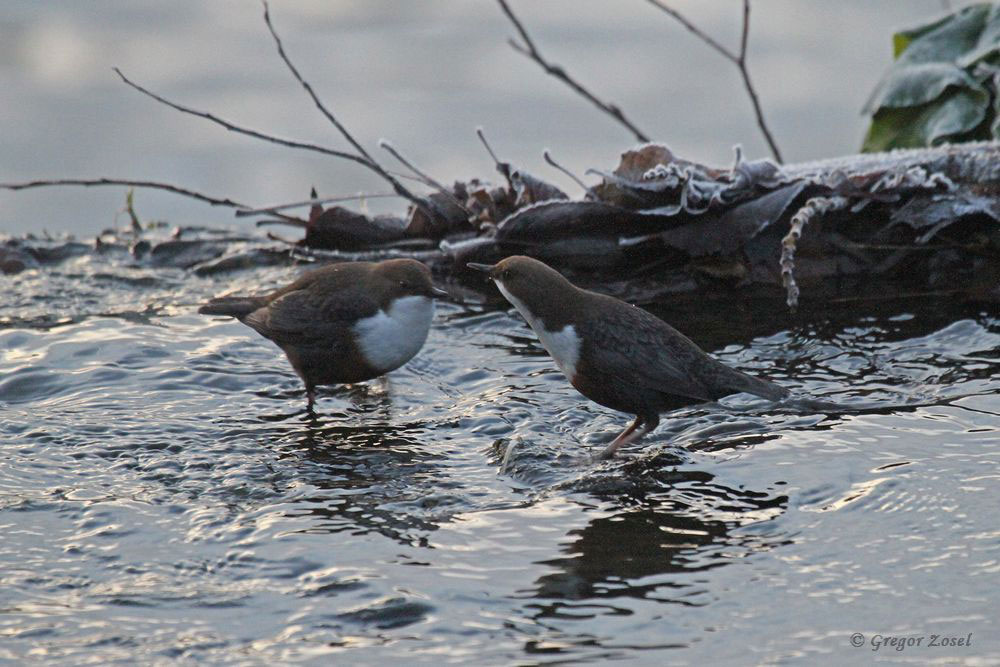 Wasseramselpaar im Himmelmann Park....am 08.12.16 Foto: Gregor Zosel