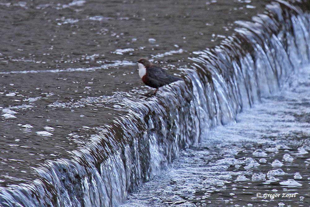 Wasseramsel am Überlauf des Wehres.....am 22.01.16 Foto: Gregor Zosel