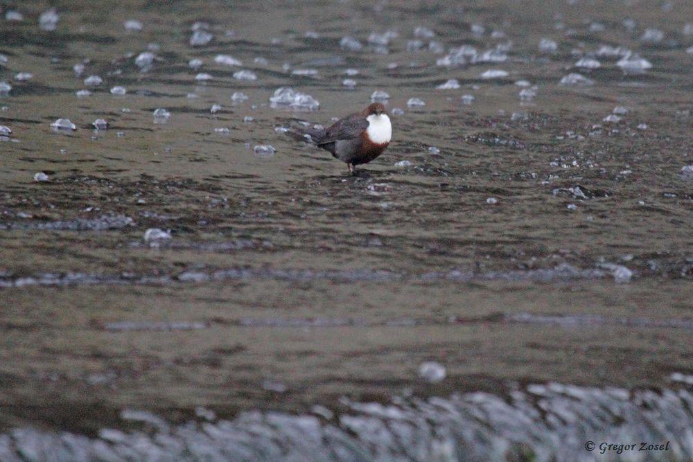 Wasseramsel am Überlauf des Wehres .....am 31.12.16 Foto: Gregor Zosel