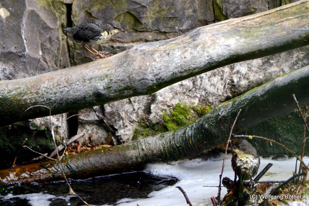 Nachwuchs der Wasseramseln steht nun auf eigenen Beinen, am 25.04.2016 Foto: Wolfgang Röther