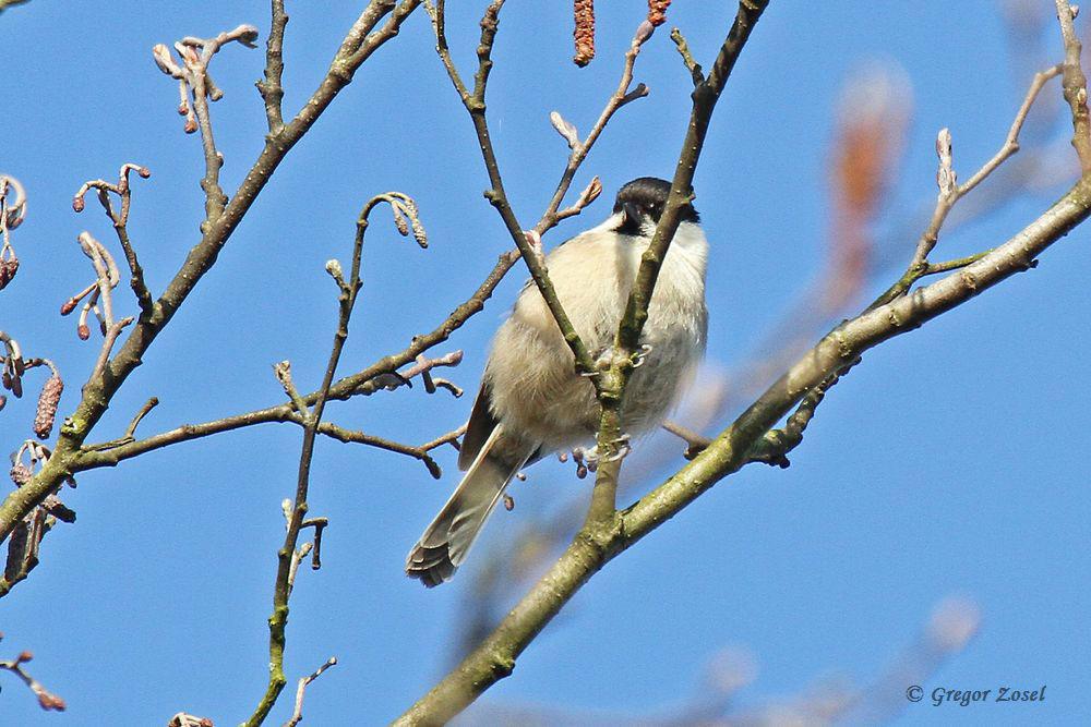 Weidenmeise sang heute aus der Erlenbaumkrone aus voller Brust...am 02.04.16 Foto: Gregor Zosel