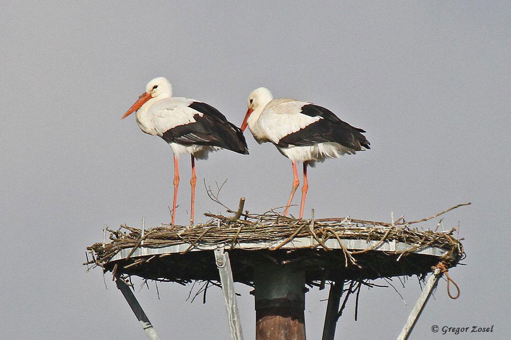 Trotz Einbringen von Nistmaterial sind am Nest der Weißstörche kaum bauliche Veränderungen zu erkennnen....am 07.04.16 Foto: Gregor Zosel
