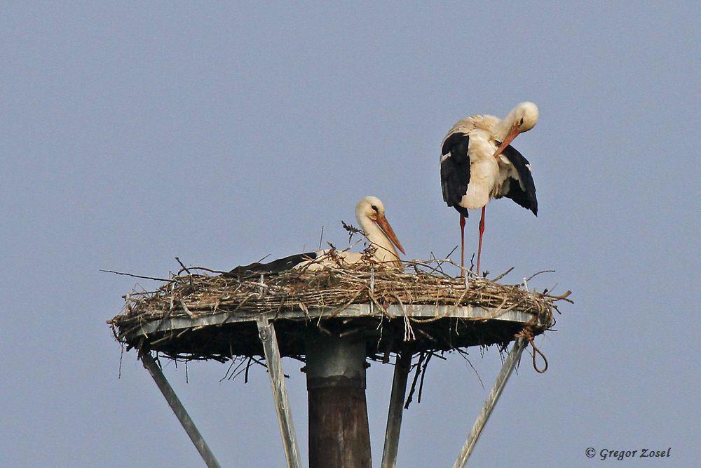 Während ein Storch die Jungen hundert, ist das zweite Elternteil mit der Morgenpflege beschäftigt.....am 26.05.16 Foto: Gregor Zosel