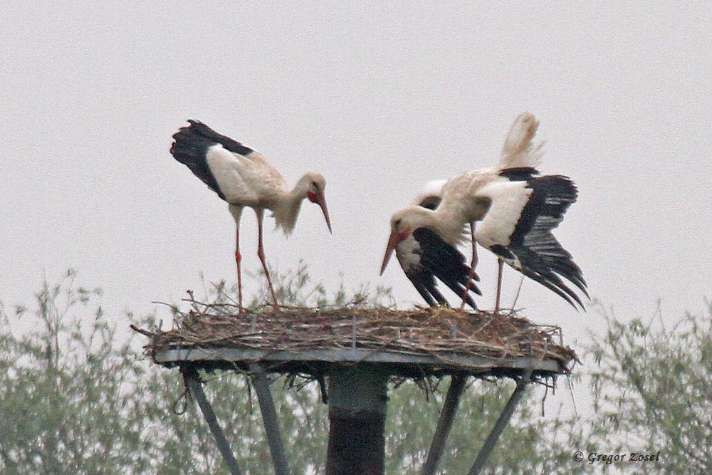 Vielleicht das letzte Foto des Weißstorchpaares auf ihrem Nest. Hier bei der gemeinsamen Ankunft am Horst am frühen Morgen war kein Jungstorch zu entdecken, der die Eltern erwartete.....am 27.05.16 Foto: Gregor Zosel