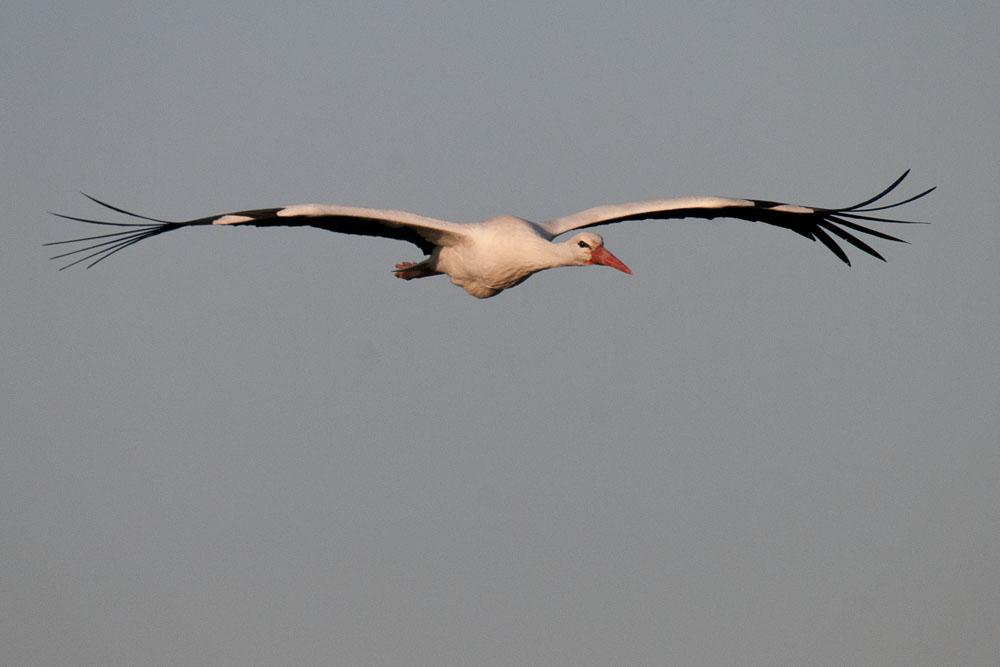 Weißstorch auf dem Weg...am 11.04.2015 Foto: Marvin Lebeus