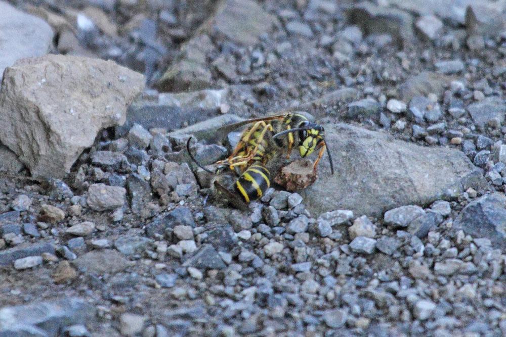 Paarungstandem der Gemeinen Wespe (P.vulgaris) - das Männchen kenntlich an den langen, gebogenen Fühlern (links) - sorgt bereits für das Wespenjahr 2017, 24.08.2016 Foto: Bernhard Glüer