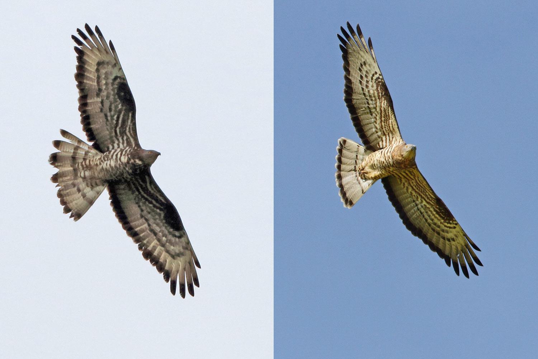 ...im direkten Vergleich mit dem männlichen Brutvogel aus dem selben Gebiet (rechtes Foto vom 11.05.2015) wird deutlich, dass der heutige Vogel mit diesem nicht identisch ist..., 20.05.2016 Foto: Bernhard Glüer
