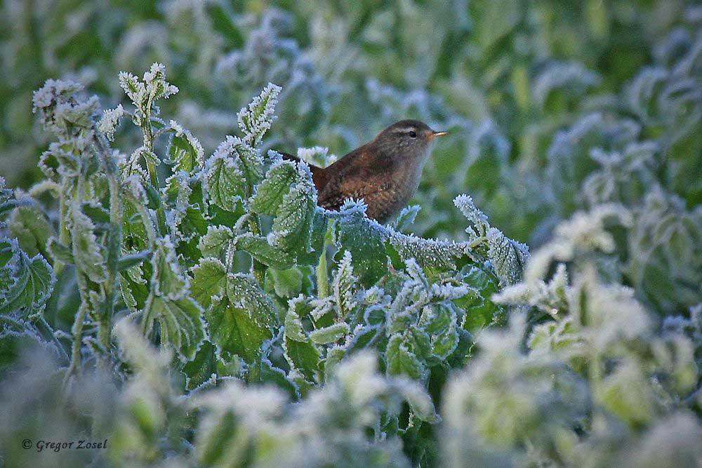 In einem Zwischenfruchtfeld, welches an die Kiebitzwiese angrenzt, finden allerlei Singvögel nun Nahrung, wie dieser Zaunkönig.....am 03.12.16 Foto: Gregor Zosel