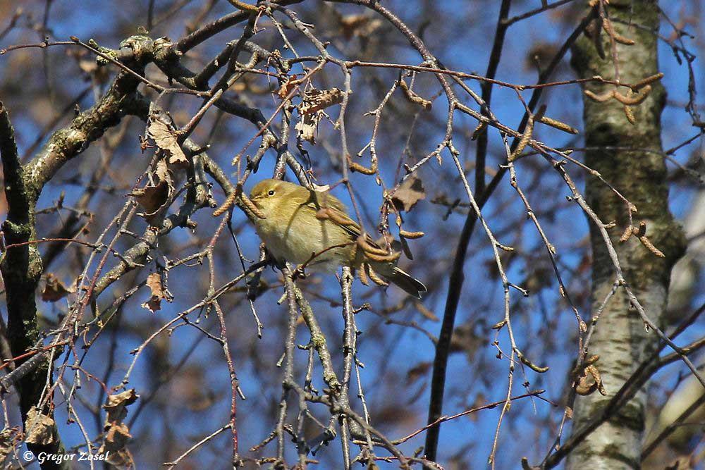 Hoch in den Kronen der alten Birken sucht er nach Insekten.....am 05.12.16 Foto: Gregor Zosel