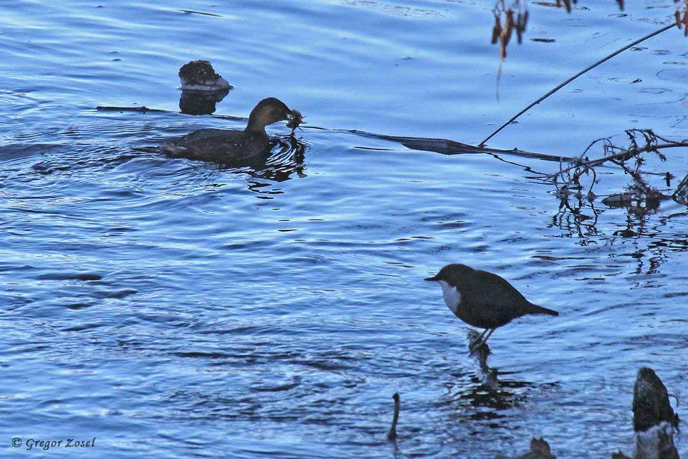 Während ein Zwergtaucher einen kleinen Barsch verspeist, wird er von einer Wasseramsel beobachtet....am 04.12.16 Foto: Gregor Zosel
