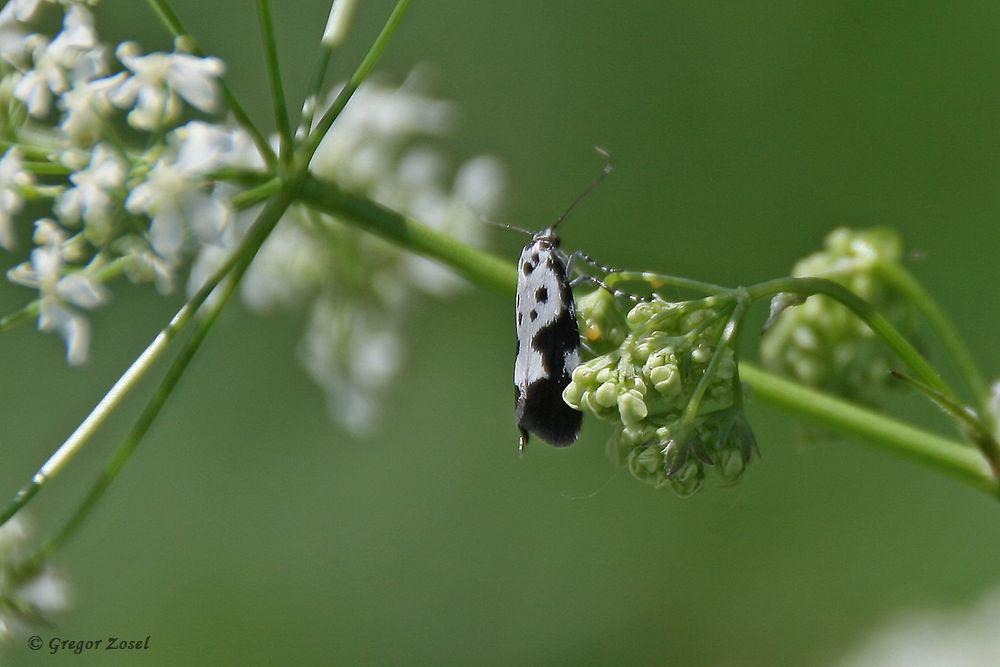 Eine Gespinstmottenart am Wegesrand. Es handelt sich um die Ethmia quadrillella. Einen deutschen Namen habe ich nicht gefunden.....am 21.05.17 Foto: Gregor Zosel
