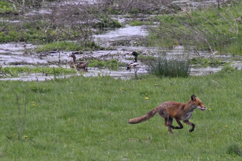 """Vermutlich hat dieser Fuchs bereits Nachwuchs zu versorgen. Dafür bietet die Kiebitzwiese reichlich Nahrungsressourcen. Foto: H. Knüwer"""".width="""