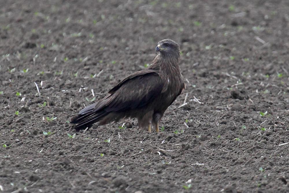 """Schwarzmilan legt eine kleine Pause ein, bevor er sich erneut im niedrigen Suchflug der Regenwurmjagd widmet. Foto H. Knüwer"""".width="""