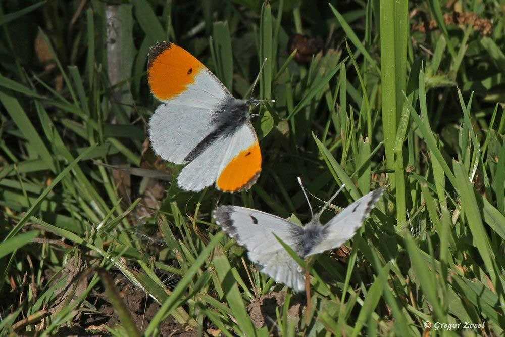 Männchen und Weibchen des Aurorafalters in den Ruhrwiesen....am 14.05.17 Foto: Gregor Zosel
