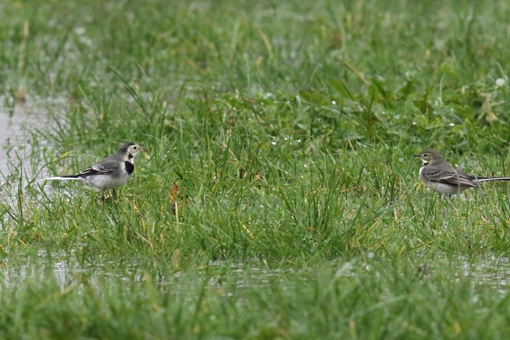 Zwei der insgesamt 22 Bachstelzen in den (gefluteten) Hemmerder Wiesen - der linke Vogel hat gerade eine Raupe entdeckt ..., 25.11.2017 Foto: Bernhard Glüer